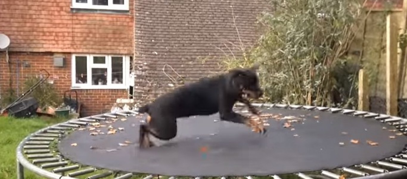 τραμπολίνο Σκύλος