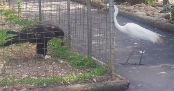 Απίστευτο: Αετός χρησιμοποιεί δόλωμα για να πιάσει ένα πουλί