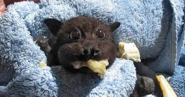 Μωρό νυχτερίδα που τρώει μπανάνα μετά την διάσωσή της είναι ό,τι πιο ωραίο θα δείτε σήμερα