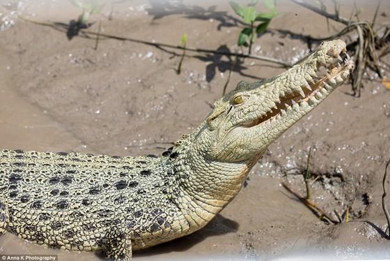 λευκός κροκόδειλος κροκόδειλος κροκόδειλοι