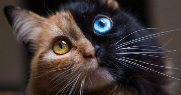 Αυτή η γάτα είναι από τα πιο όμορφα ατυχήματα της φύσης