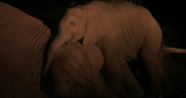 Η μαμά ελέφαντας ξέρει ότι δεν θα επιβιώσει τη νύχτα. Μόλις όμως δείτε τι κάνει για το παιδί της, θα λυγίσετε…