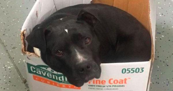 Πρώην αδέσποτος σκύλος αρνείται να κοιμηθεί σε κρεβάτι γιατί νιώθει ασφαλής μόνο σε χαρτόκουτα