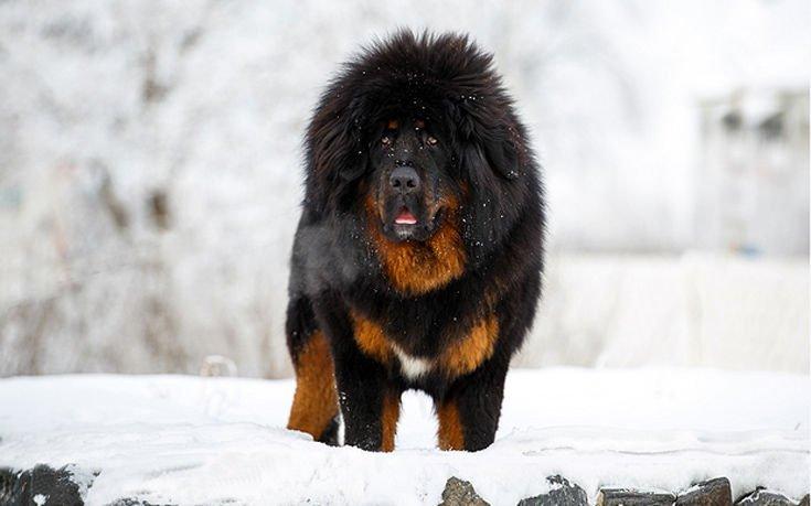 σκύλοι ράτσες σκύλων ακριβότεροι σκύλων