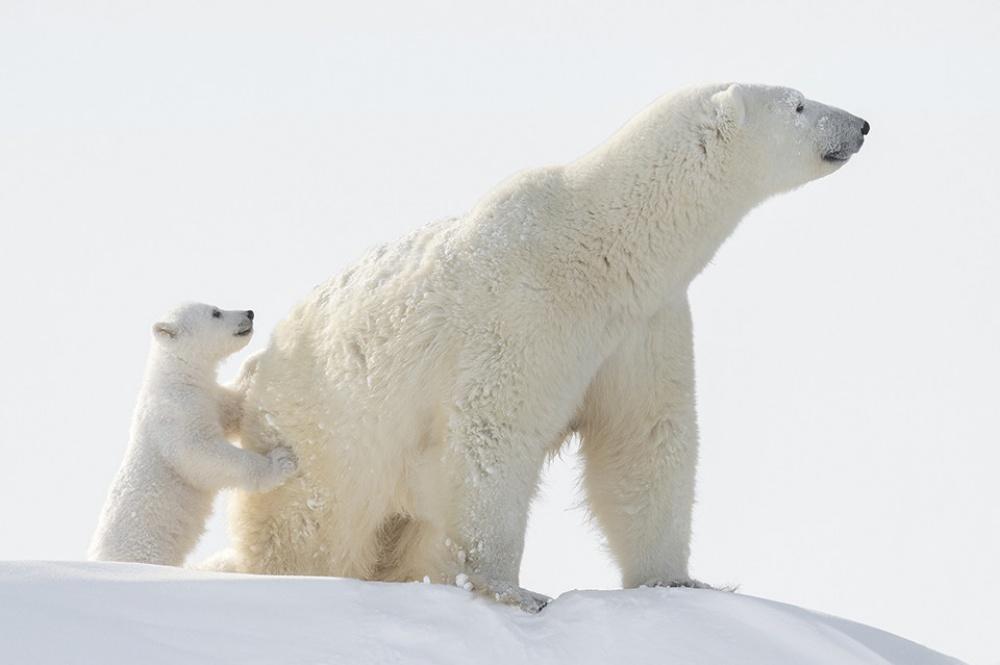 Πολική αρκούδα