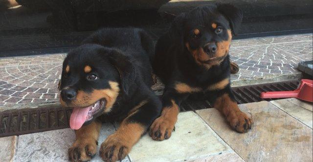 Ροτβάιλερ κουτάβια Rottweiler