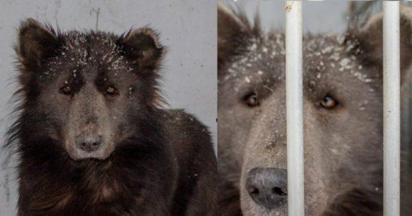 Σκύλος-αρκούδα που βρέθηκε στην Ρωσία κάνει τους επιστήμονες να αναρωτιούνται