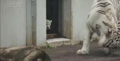 Πώς μια μικρή τίγρης τρομάζει τη μαμά της
