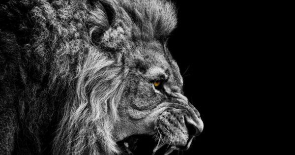 Η δύναμη του λιονταριού – Εντυπωσιακά πλάνα από τον «βασιλιά των ζώων» (βίντεο)