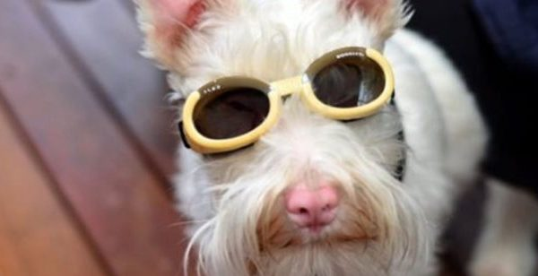 Αλμπίνο σκύλος φορά γυαλιά ηλίου για να μην τον σκοτώσει ο ήλιος