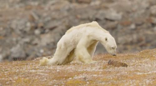 «Έτσι μοιάζει μια αρκούδα που πεθαίνει της πείνας» – Βίντεο καταγράφει τον αργό θάνατο του ζώου σε έναν τόπο δίχως πάγο
