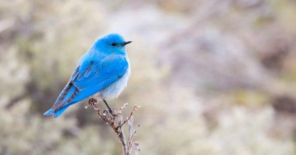 Γιατί δεν υπάρχουν πολλά ζώα με μπλε χρώμα