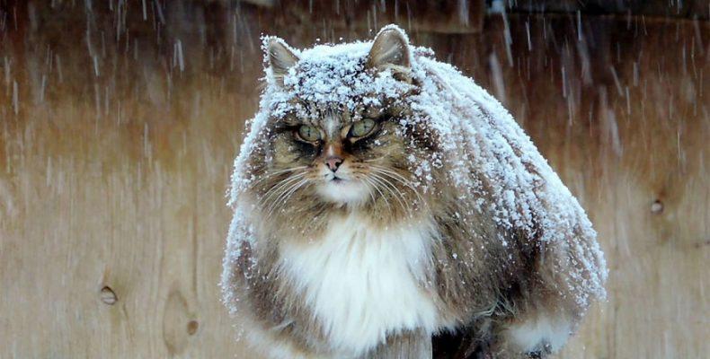 Σιβηρία γάτες