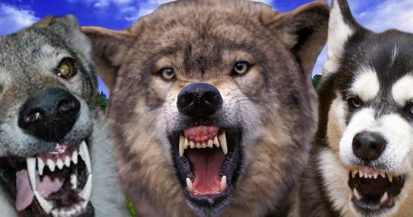 Βίντεο: Δέκα σκύλοι που μοιάζουν με λύκους