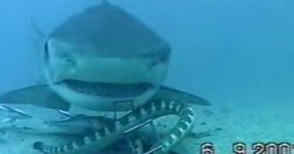 Η μάχη ενός φιδιού με καρχαρία στο βυθό της θάλασσας (βίντεο)