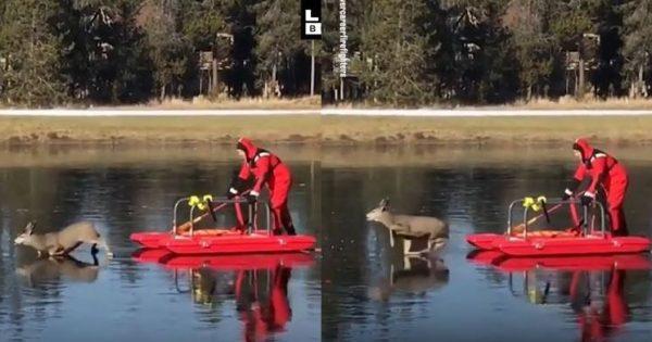 Η απίστευτη διάσωση ενός ελαφιού που είχε κολλήσει σε παγωμένη λίμνη