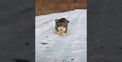Χιονόμπαλες εν δράσει: Δύο φουντωτά μαλαμούτ χοροπηδούν στο χιόνι