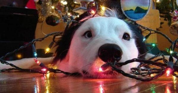 Ο σκύλος που…βοηθάει στο στόλισμα του δέντρου! (ΒΙΝΤΕΟ)