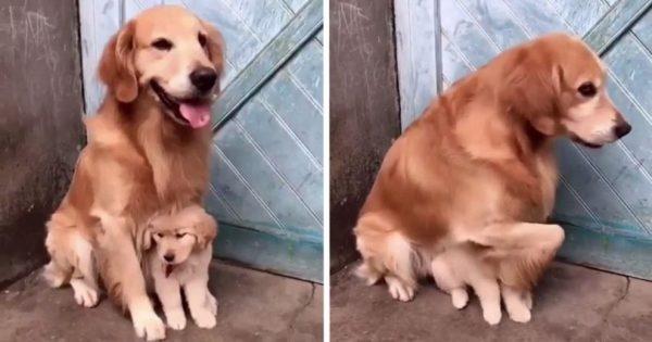 Προστατευτικός σκυλο-πατέρας δεν αφήνει κανένα να ακουμπήσει το βλαστάρι του
