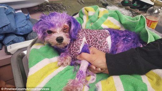 Σκύλος βαφή μαλλιών