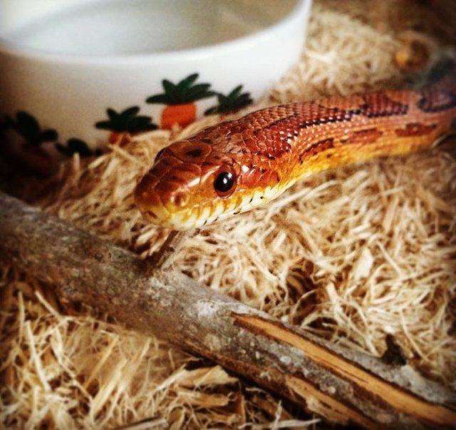 φίδι κατοικίδιο
