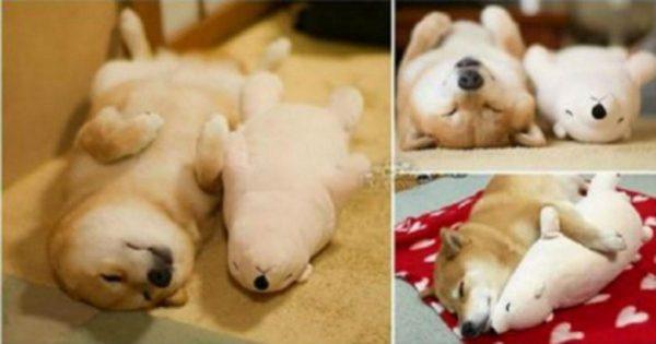 Σκύλος κοιμάται κάθε βράδυ στην ίδια θέση με το αγαπημένο του αρκουδάκι (Φωτογραφίες)