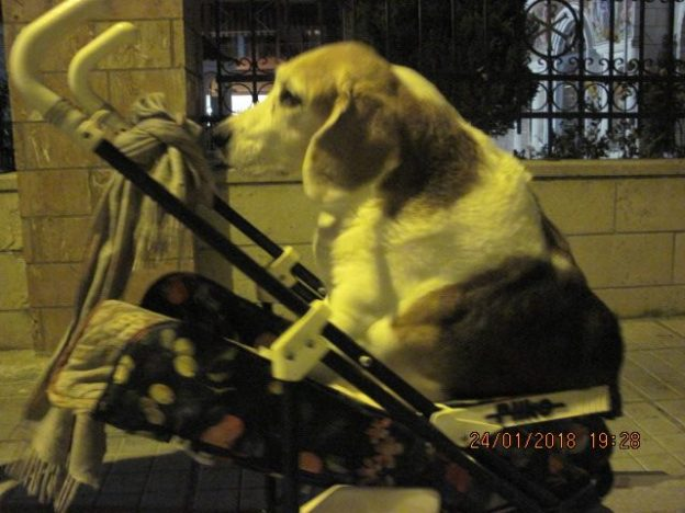 Σκύλος Παράλυτος σκύλος Θεσσαλονίκη