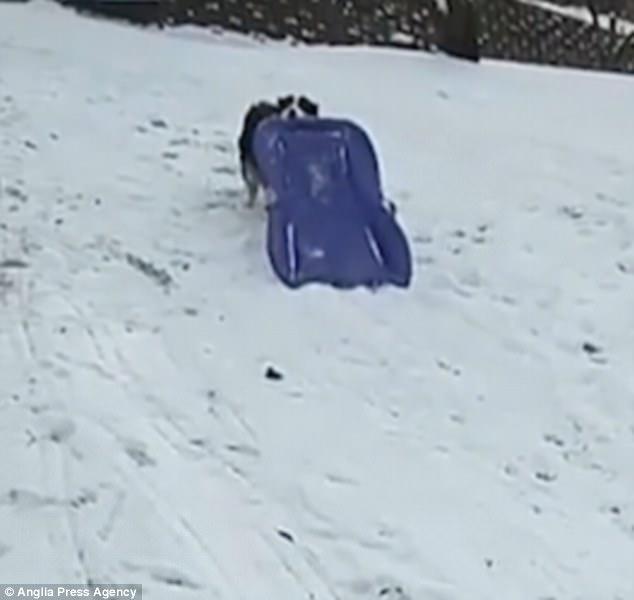 χιόνι κουτάβι έλκυθρο