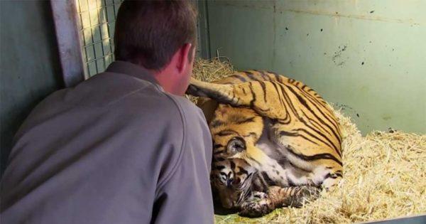 Τίγρης γεννάει αλλά μόλις οι φροντιστές βλέπουν κάτω από τα πόδια της τα χάνουν