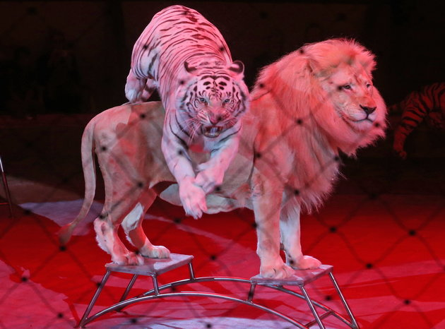 ST PETERSBURG, RUSSIA - SEPTEMBER 22, 2017: A tiger and a lion perform during a dress rehearsal of a new circus show titled Emotions by Zapashny brothers at the Bolshoi St Petersburg State Circus. Alexander Demianchuk/TASS (Photo by Alexander DemianchukTASS via Getty Images)