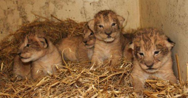 Έγκλημα σε ζωολογικό κήπο: Θανάτωσαν 9 υγιέστατα λιονταράκια γιατί θα… μεγάλωναν πολύ!