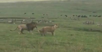 Σκύλος επιτίθεται σε λιοντάρια