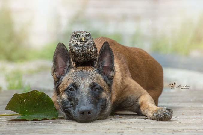 Σκύλος κουκουβάγια