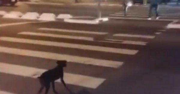 Απίστευτος σκύλος περιμένει το πράσινο για να περάσει τη διάβαση στον δρόμο (pic & vid)