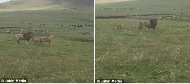 τανζανία Σκύλος λιοντάρια