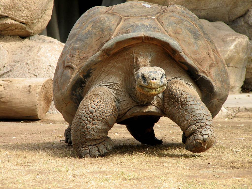 χελώνες Γκαλαπάγκος