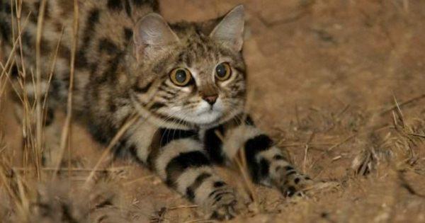 Αυτή η χαριτωμένη γάτα είναι από τις πιο επικίνδυνες του πλανήτη