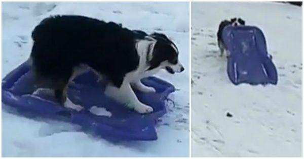 Πανέξυπνο κουτάβι ισορροπεί πάνω σε έλκηθρο και κατεβαίνει τους χιονισμένους λόφους σαν έμπειρος σκιέρ