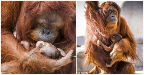 Μαμά ουρακοτάγκος φιλάει το νεογέννητο μωρό της και οι φωτογραφίες είναι ό,τι πιο γλυκό είδατε σήμερα