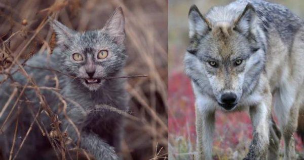 Η σπάνια ομορφιά της γάτας – λύκου