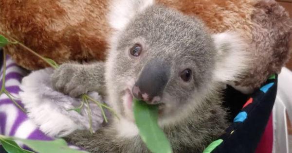 Ό,τι πιο γλυκό: Αξιαγάπητο μικρό κοάλα ποζάρει για την πρώτη του φωτογράφιση!