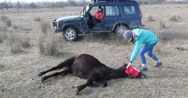 Κτηνίατρος απελευθερώνει άγριο άλογο που ήταν χρόνια αλυσοδεμένο!! Θα δακρύσετε όλοι, Μόλις Δείτε ΑΥΤΟ που έγινε στη συνέχεια