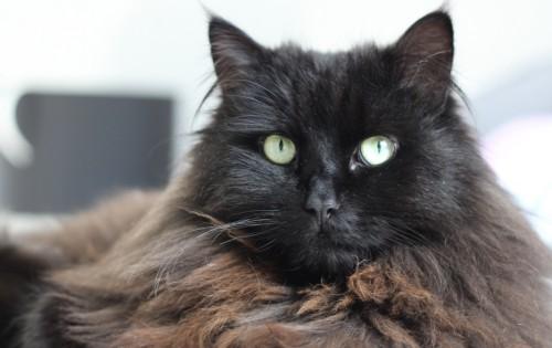 Μαύρες γάτες γάτες