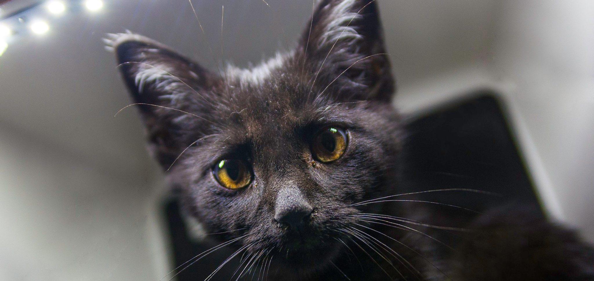 μαύρη γάτα Μαύρες γάτες