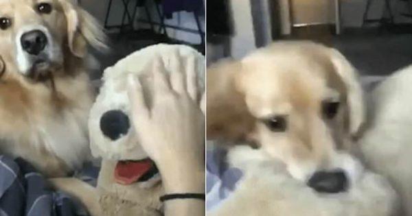 Ζηλιάρης σκύλος εκνευρίζεται και δαγκώνει λούτρινο επειδή το χαϊδεύει ο ιδιοκτήτης του