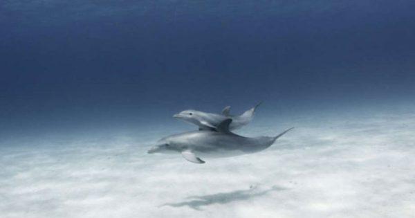 Τα θηλυκά δελφίνια τραγουδούν στα μωρά τους όταν βρίσκονται στην κοιλιά τους