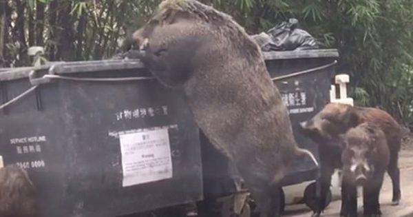 Τεράστιο αγριογούρουνο τρώει από τα σκουπίδια λίγα μέτρα από σχολείο στο Χονγκ Κονγκ