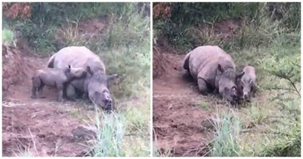 Μωρό ρινόκερος προσπαθεί να ξυπνήσει τη νεκρή μαμά του που σκότωσαν οι λαθροκυνηγοί για να της πάρουν τα κέρατα
