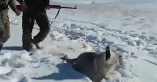 Κυνηγοί κλωτσούν λύκο γιατί τον νομίζουν πεθαμένο και παθαίνουν την πλάκα της ζωής τους