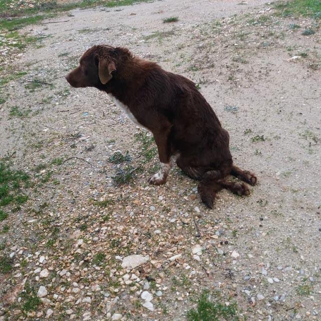 τραυματισμένος σκύλος Σκύλος
